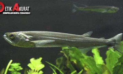 candiru-jenis-ikan-yang-paling-berbahaya-di-sungai-amazon