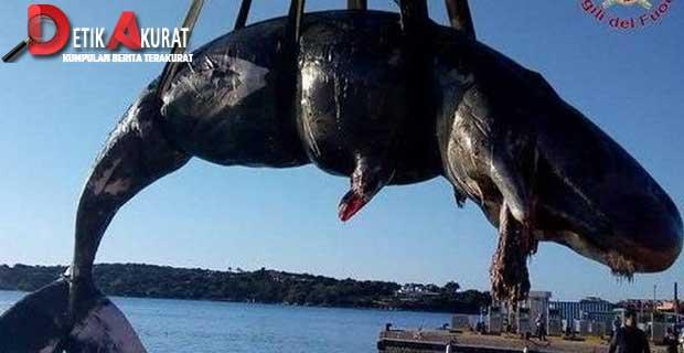 keterlaluan-22kg-plastik-ditemukan-di-perut-paus-hamil